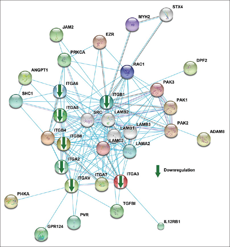 Figure 1: Network analysis of differentially expressed integrins in head and neck cancers.<b></b> The list of differentially expressed integrins from previously published proteomics data was used as input for STRING to carry out network analysis. The analysis revealed that a few members of the laminin family were found to be associated with members of the integrin family